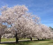 row of cherry trees with light pink blooms at the Memphis Botanic Garden